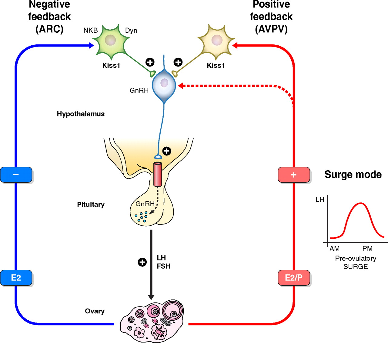 Negative Feedback Biology on endocrine female cycle
